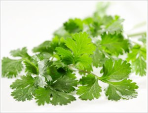 Cilantro (leaves of the Coriander plant)